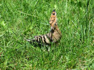 Kukutis – vienas puošniausių Lietuvos paukščių. Prieš nuskrisdamas šis kukučiukas dar papozavo savo augintojui | A. Butlerio nuotr.
