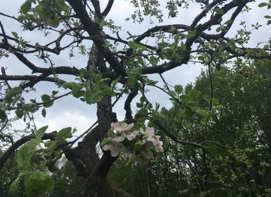 Užutrakio sodo obelų žydėjimas | Trakų istorinio nacionalinio parko direkcijos nuotr.