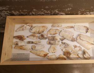 Žagarės regioninio parko lankytojų centre – mamuto iltis | Žagarės regioninio parko direkcijos nuotr.