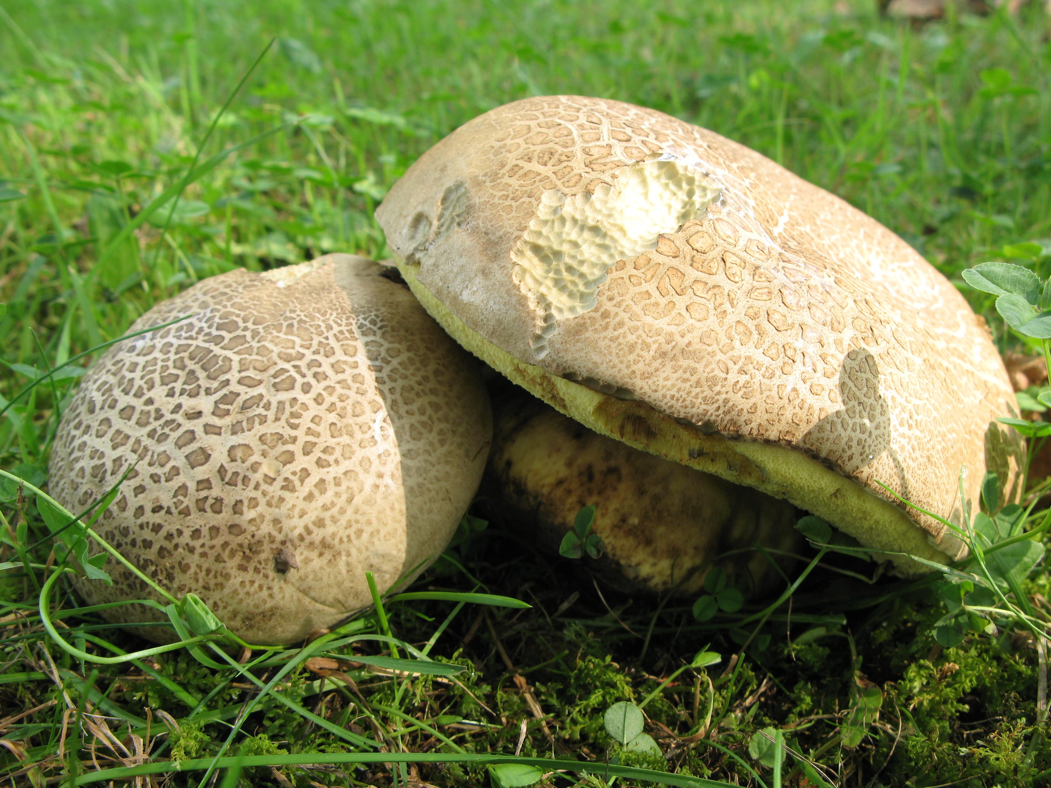 Kartusis baravykas (Caloboletus radicans) | VDU Botanikos sodo nuotr.