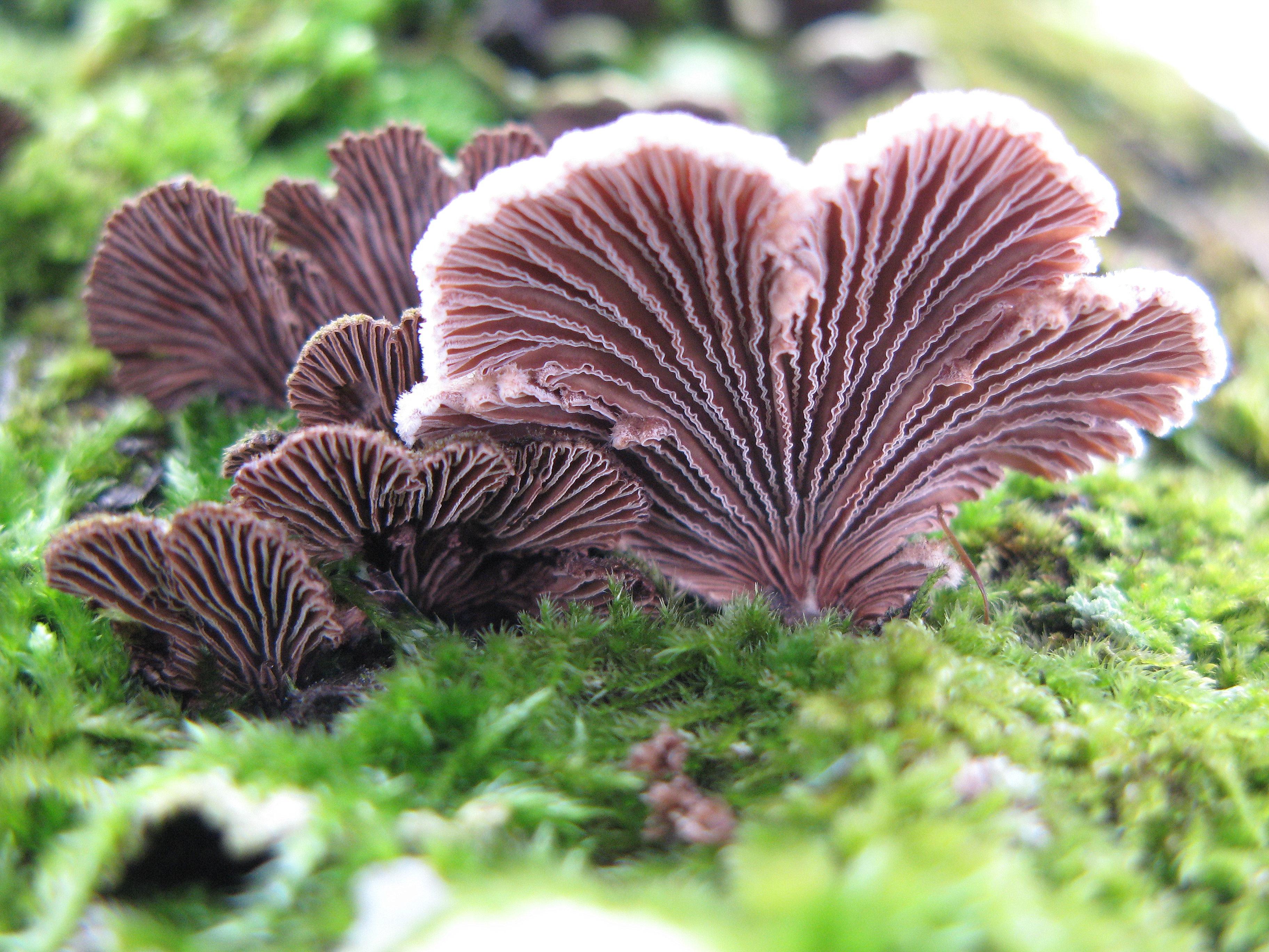 Paprastoji alksniabudė (Schizophyllum commune) | VDU Botanikos sodo nuotr.