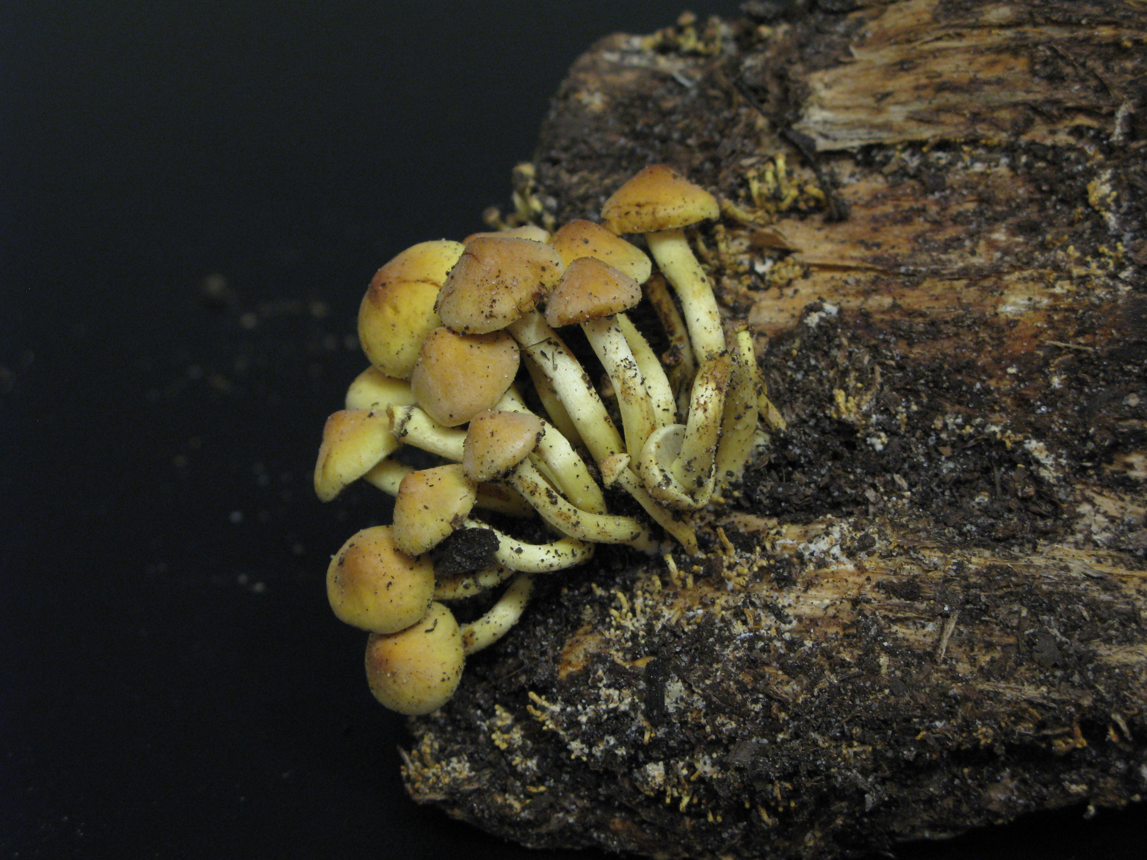 Puokštinė kelmabudė (Hypholoma fasciculare) | VDU Botanikos sodo nuotr.