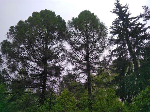 Sodininko Dobilevičiaus sodinti Anglijos salos medžiai | A.Gaidamavičiaus nuotr.